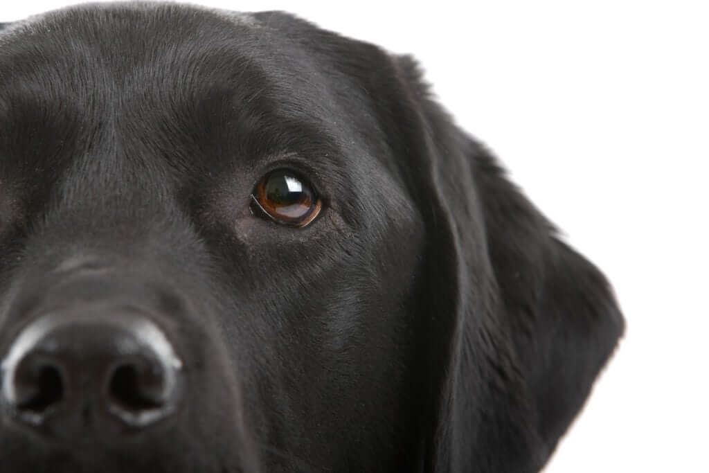 half head of a black labrador retriever
